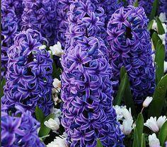 Blue Jacket Hyacinth. plant, hyacinth, flower, blue jackets