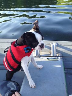 Swarley sporting his new L.L.Bean CFD - Canine Flotation Device.