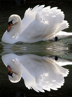 que lindo. swan