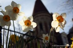 Easter Daffodils in London | http://www.aladyinlondon.com