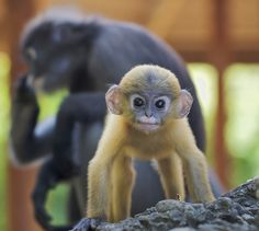 Baby Dusky Langur by Troup1: This tribe of dusky langurs in Prachuap Khiri Khan, Thailand live at the base of a sacred mountain sandwiched between an air force base and a town. They cannot be sustained by the mountains resources and have been fed by the local people. They are very gentle, playful and sweet natured. This particular young male is very used to my presence and is a great model. #Dusky_Langur #Troup1 #Thailand