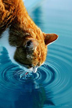 Pretty kitty taking a drink.