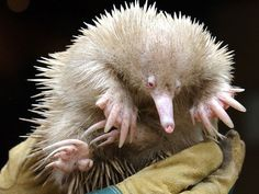 Albino echidna: Together with the platypus, echidnas are the worlds only monotremes, or egg-laying mammals.