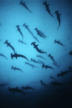 Scalloped hammerhead Sharks (Sphyrna lewini) off the coast of Cocos Island, Costa Rica  by Jeff Rotman. Many shark species are endangered today or vulnerable due to by-catch and use in shark-fin soup.