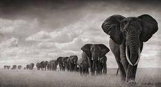 markedlines elephants, black white, children, loyalty, foundation, beauti, beauty, africa, canvases