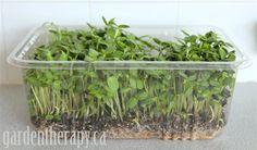Sunflower micro greens