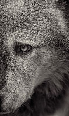 gray wolf//gorgeous and mysterious