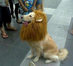 Lion retriever :-)