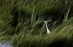 An egret works its way along the shoreline off 16th Street in Newport News on Monday, Sept. 1. (Photo by Joe Fudge / Daily Press)