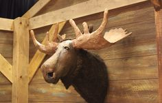 Paper Mache Animal Head ( Moose) :  Laughing Stock prop  www.give-em-props-studio.com