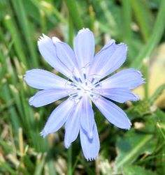 Chicory: Wild Flower or Weed?