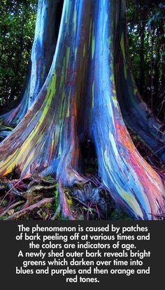 Rainbow Eucalyptus trees on Maui, Hawaii…I want to see this!