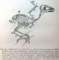 skeleton of a sparrow, 1884