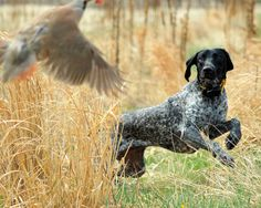 hunting dogs, hunt dog, anim, german shorthaired pointer, working dogs, bird dogs, biscuits, birds, gsp