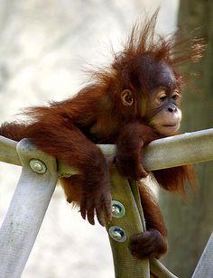 Orangutan baby. Do u luv my new hairdo?