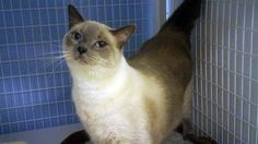 Azul Needs a good home! CatsExclusive.org Fixed, vaccinated, negative for FIV/FeLV/HW, de-wormed, de-fleaed.