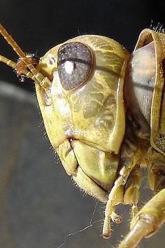 ♥ Grasshopper