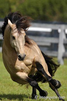 Buckskin Lusitano stallion.