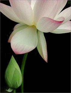 Lotus Flower - Photo by Bahman Farzad