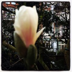 The first magnolia flower 2014