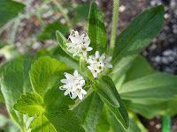 The Herb Gardener: Make Stevia Syrup