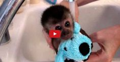 A Baby Monkey's First Bath Time Is So Adorable! I Can't Turn Away!