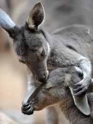 Kangaroo Kiss <3