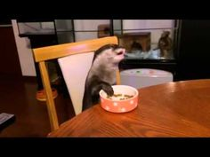 Otter sits and eats at table.