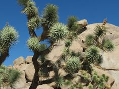 Rick and JoAnne's RV Travels: Joshua Tree National Park in CA.