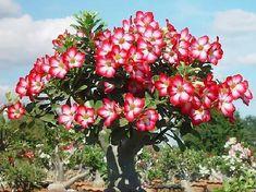 desert bonsai, desertoadeniun obesum, tree garden, desert rose
