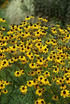 Blacked-Eyed Susan