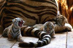 Tiger cubs ...