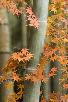 Bamboo and maple, Joeiji-temple, Yamaguchi, Japan, 2006