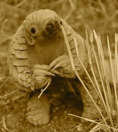 An 11 month old baby pangolin in Namibia. Little is known about the shy, very endangered species.