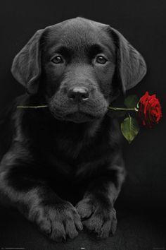 Sweet innocence ~ anim, dogs, pet, red roses, lab puppies, beauti, labrador, friend, black labs