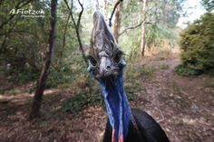 The cassowary is a c