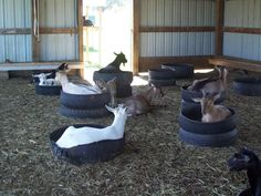 good idea old tires for the goats