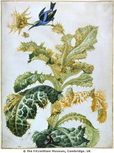 Watercolor: Blue Honeycreeper, Thistle, Snails. Maria Sibylla Mer­ian (1647–1717)