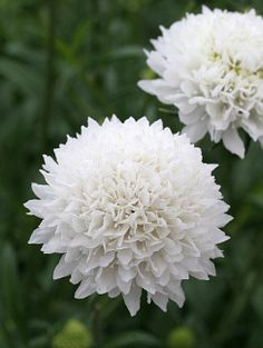 """Scabiosa atropurpurea """"snowmaiden"""" I like scabiosa in general, but I am in love with this one. It's so perfectly white, and the green buds (click picture) compliment it so well. It makes me want to make a flower arrangement right now. And, like other scabiosas, it attracts butterflies and bees. Full sun, average water, good in containers, grows to 3' tall by 2' wide.  ( I need to go find these)"""