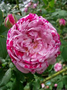 Rose 'Variegata di Bologna'.