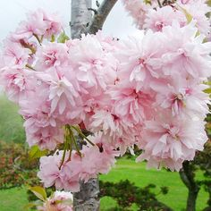 spring flowers, pink flowers, landscaping flowering shrubs, garden tree, flowering tree