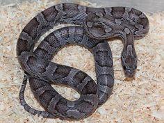 Corn Snake - Charcoal Morph