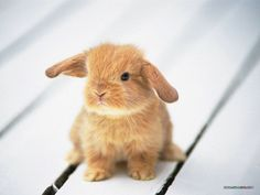 Baby Holland Lop, I love these!