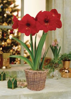 Red Lion Amaryllis my favorite