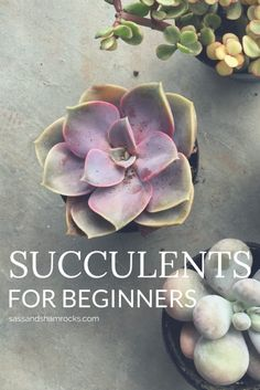 Succulents For Begin