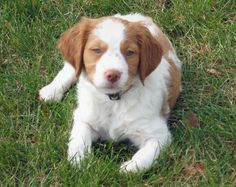 Roma the Brittany Spaniel   Puppies   Daily Puppy