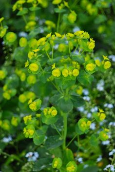 Euphorbia amygdaloides robbiae in the Front Woodland, also known as Wood Spurge or 'Mrs. Robb's Bonnet'. ~WMG