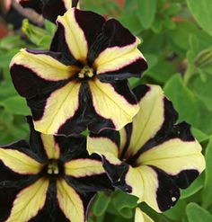 'Phantom' petunia flowers. I planted a container of these just the other day! Fun for a witch's garden!