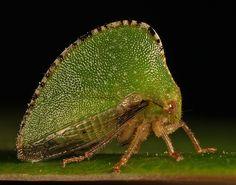 Keeled Treehopper, Antianthe expansa
