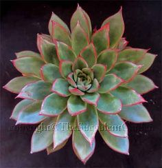 Every desert rose-type succulent your heart could ever wish for!